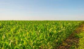 Mais, der auf einem Gebiet im Sommer wächst Lizenzfreie Stockbilder