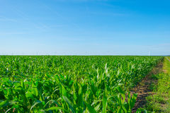 Mais, der auf einem Gebiet im Sommer wächst Lizenzfreies Stockfoto