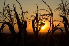 Mais in der untergehenden Sonne Lizenzfreies Stockfoto