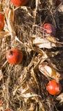 Mais e zucca maturi sul festival del raccolto di ringraziamento di autunno fondo, alimento fotografia stock libera da diritti