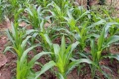 Mais - ein kleiner grüner Garten der kleinen BabyMaispflanze Lizenzfreies Stockfoto