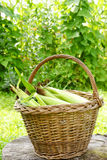 Mais in einem Korb Stockfotografie