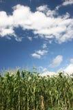 Mais-Feld lizenzfreie stockfotografie