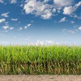 Mais-Feld Lizenzfreies Stockfoto