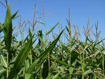 Mais-Feld auf blauer Himmel-Hintergrund Lizenzfreie Stockfotografie