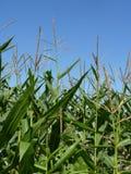 Mais-Feld auf blauer Himmel-Hintergrund Stockfoto