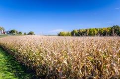 Mais-Feld auf klaren Autumn Day Stockbild
