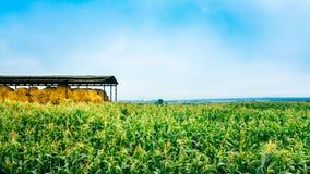 Mais-Feld in der Sommersaison Lizenzfreies Stockfoto