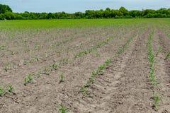 Mais-Feld im Frühsommer Stockfoto
