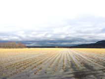 Mais-Feld im Winter lizenzfreies stockbild