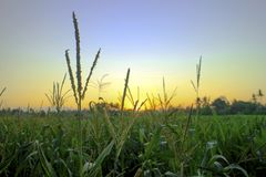 Mais-Feld, Sonnenuntergang, Hintergrund, Grün stockbilder