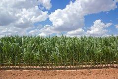 Mais-Feld am sonnigen Tag Lizenzfreies Stockbild
