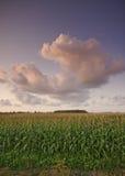 Mais-Feld und der Himmel Stockfotos