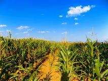Mais-Feld und Himmel Lizenzfreie Stockfotos