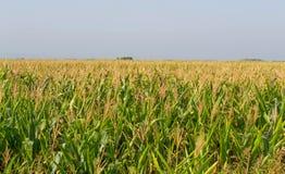 Mais, Feld von Mais Lizenzfreies Stockfoto