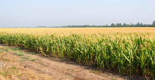 Mais, Feld von Mais Lizenzfreies Stockbild