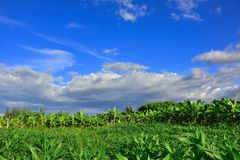 Mais-Garten hat Himmel und Wolken als der Hintergrund Lizenzfreie Stockbilder