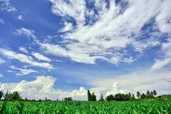 Mais-Garten hat Himmel und Wolken als der Hintergrund Stockfotografie
