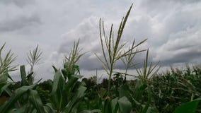 Mais geschlagen durch einen Windstoß stock video