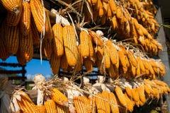 Mais hängen oben in einem Bauernhof Lizenzfreie Stockfotos