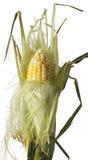 Mais-Hülse teilweise abgezogen Stockfotografie