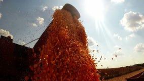 Mais-Korn, das in einen Anhänger geladen wird stock footage