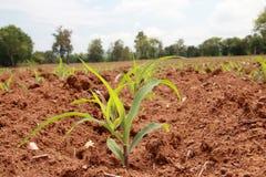 Mais landwirtschaftlich auf Sonnenlichthintergrund stockfotografie