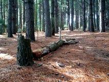 Mais madeiras Fotografia de Stock Royalty Free