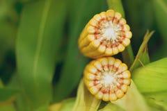 Mais-Maiskolben auf Stiel auf dem Gebiet stockfotos