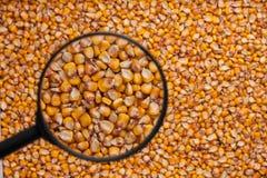 Mais mit einer Lupe Lizenzfreies Stockbild