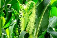 Mais-oder Mais-Seide stockbilder