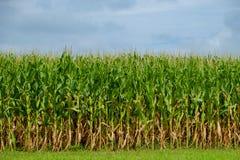 Mais pirscht bereites zur Ernte an Stockbilder