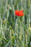 Mais Poppy In Wheat Stockbild