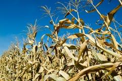 Mais-Reihe Lizenzfreie Stockfotos