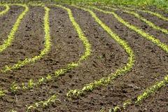 Mais-Reihen Stockfoto
