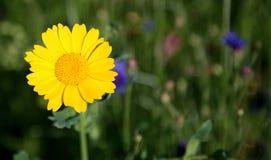 Mais-Ringelblume Stockbilder