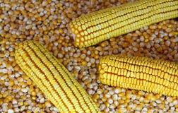 Mais-Startwert für Zufallsgenerator Stockfoto