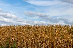 Mais-Stiel auf einem Bauernhof lizenzfreie stockfotos