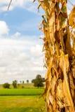 Mais-Stiel auf einem Bauernhof stockfotografie