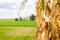 Mais-Stiel auf einem Bauernhof stockfotos