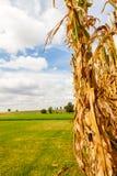 Mais-Stiel auf einem Bauernhof stockfoto