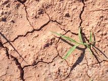 Mais-Stiel im trockenen roten Eisenboden ohne Feuchtigkeit und Nährstoffe lizenzfreie stockfotos