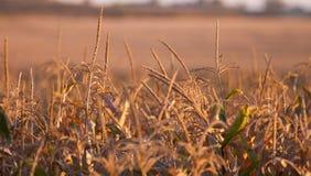 Mais-Stiele lizenzfreie stockfotografie
