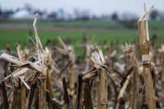 Mais-Stiele im Fall stockfoto