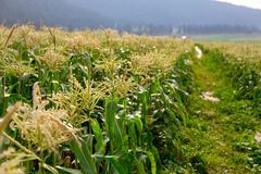 Mais-Stiele mit Quasten lizenzfreies stockbild