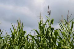 Mais und bewölkter Himmel lizenzfreie stockfotografie