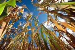 Mais und der Himmel Lizenzfreie Stockfotografie