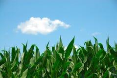 Mais und Himmel Stockfoto