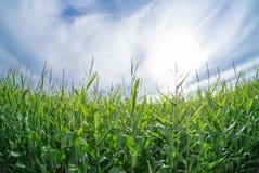 Mais und Himmel Stockbild