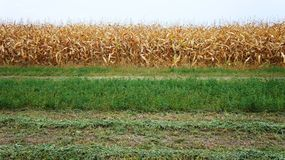 Mais und Luzerne lizenzfreies stockfoto